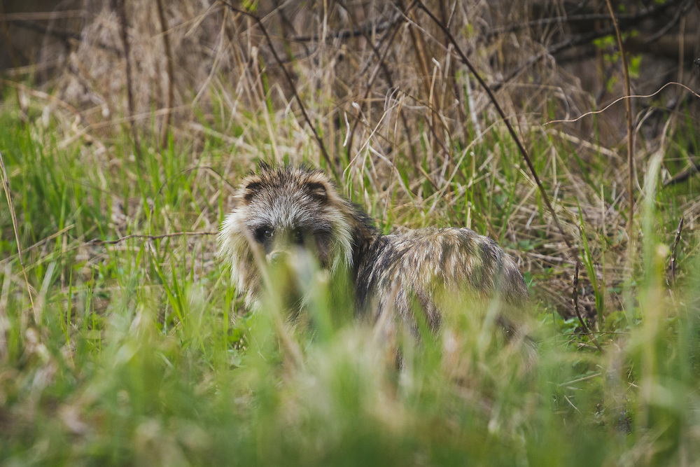"""Racoon Dog (Nyctereutes procyonoides) looking back in first green stalks of grass in spring, nature park """"Kuja"""", Latvia Ⓒ Davis Ulands 