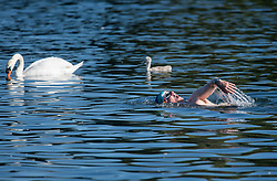 © Licensed to London News Pictures. 13/06/2021. London, UK.A man swimming in the Serpentine Lake in the early morning sunshine in Hyde Park central London on a hot summer's day. Temperatures in the capital are expected to reach a high for the year. Photo credit: Ben Cawthra/LNP