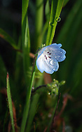 Water droplets adorn a pale blue wildflower after an early spring rain, California<br /> <br /> More about this image on the blog: https://goo.gl/rXWyx8