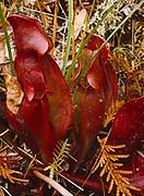 Purple Pitcher Plant, Sarracenia purpurea, carnivorous plant growing at Cedar Bog, a nature preserve near Urbana, Ohio.