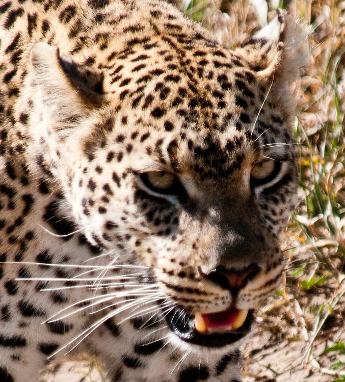 Closeup of the Leopard - Chui