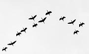 12 Hadada Ibises flying in silhouette against the sky at Lake Bogoria, Kenya.