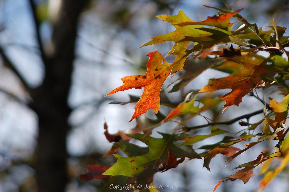 A few of the oak leaves showing how distinct each is.  Princeton Nursery, Princeton, NJ