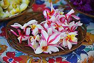 Plumeria flowers for Lei making in Lahaina, Maui.