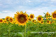 63801-11104 Sunflowers in field Jasper Co.  IL