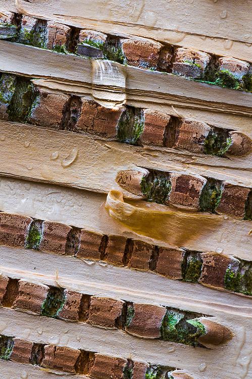 Birch bark close-up design (Betula species), overcast light, Hubbard County, Minnesota, USA