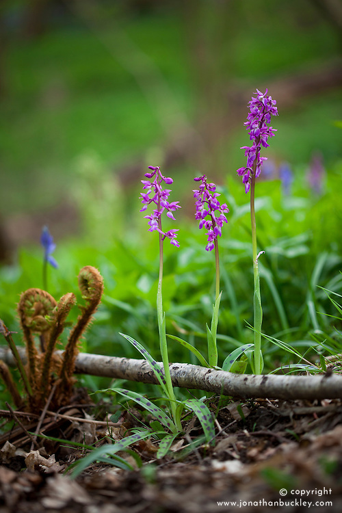 Early Purple Orchid growing with bluebells in a wood. Orchis mascula