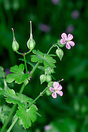 SHINING CRANE'S-BILL Geranium lucidum (Geraniaceae) Height to 30cm. Branched, hairless annual that is sometimes tinged red. Found on shady banks and rocky slopes, mainly on limestone. FLOWERS are 10-15mm across; the petals pink and not notched, and the sepals are inflated (Apr-Aug). FRUITS are hairless. LEAVES are shiny and rounded, the margins cut into 5-7 lobes. STATUS-Widespread but local.