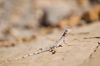 Zebra-tailed lizard, Callisaurus draconoides, in Mosaic Canyon, Death Valley National Park, California