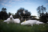 In the town of Lorne, on Australia's Great Ocean Road in Victoria, cockatoos graze in the grass of a city park.