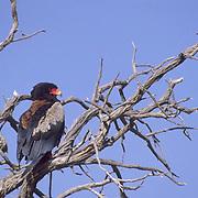 Bateleur, (Terathopius ecaudatus) Adult in Kalahari Desert. South Africa.