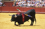 """Bull dying in the arena with banderillas on flanks..Bullfighting in Sevilla's famous bullring """"La Real Maestranza"""" is a significant part of the Feria de Abril..The Feria de abril de Sevilla, """"Seville April Fair"""" dates back to 1847. During the 1920s, the feria reached its peak and became the spectacle that it is today. It is held in the Andalusian capital of Seville in Spain. The fair generally begins two weeks after the Semana Santa, Easter Holy Week. The fair officially begins at midnight on Monday, and runs six days, ending on the following Sunday. Each day the fiesta begins with the parade of carriages and riders, at midday, carrying Seville's citizens to the bullring, La Real Maestranza. Seville. Andalusia. Spain...Blood sport ending in the killing of a bull in front of thousands of spectators. An entertainment and tradition derived from the ancient gladiatorial spectacles of Roman times. This activity is loved and defended by 'affecionados' who see the artistry and traditions whilst it is detested by animal rights activists, environmentalist and ecologists for its cruelty to animals"""