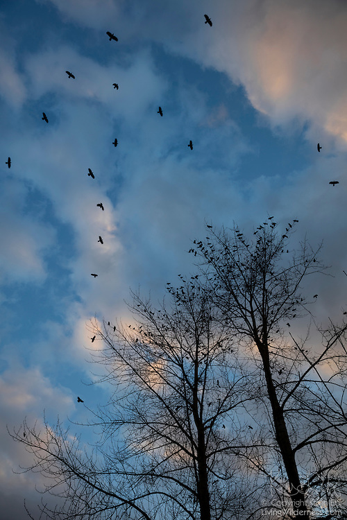 American crows (Corvus brachyrhynchos) circle over trees where hundreds of others have already landed along North Creek in Bothell, Washington. At least 10,000 crows roost each night in a small area of the city. This is a staging area where crows gather at sunset before moving as a large flock, or murder, to their roost.