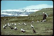 02: SEABIRDS EIDER DOWN HARVEST