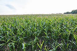 22 September 2017, Bossey, Switzerland. Corn fields.