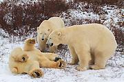 Polar Bears near Churchill, Manitoba.