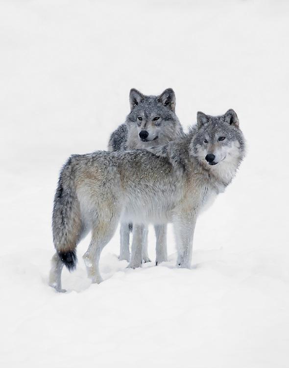 Alaska. Gray wolves (Canis lupus) on alert in winter, Alaska Wildlife Conservation Center, Portage. (Captive)