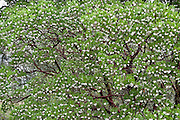 """A Manzanita tree (genus Arctostaphylos) blooms in Upper Bidwell Park, Chico, California, USA. The word manzanita means """"little apple"""" - a Spanish diminutive of manzana, or apple, referring to its usually edible berries which form in spring and summer."""