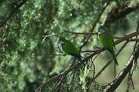 Monk parakeet (Myiopsitta monachus) in Vatican's garden, Rome, Italy
