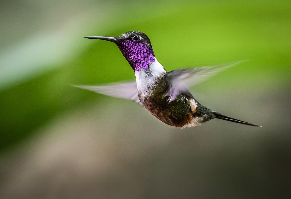 Calliphlox mitchellii, Ecuador
