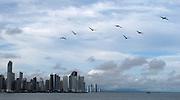 Pelícanos / Ciudad de Panamá.<br /> <br /> Edición de 10   Víctor Santamaría.