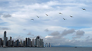 Pelícanos / Ciudad de Panamá.<br /> <br /> Edición de 10 | Víctor Santamaría.