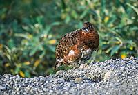 Willow Ptarmigan (Lagopus lagopus)  summer plumage of a female or hen. Summers in alpine areas.  Denali National Park, Alaska.