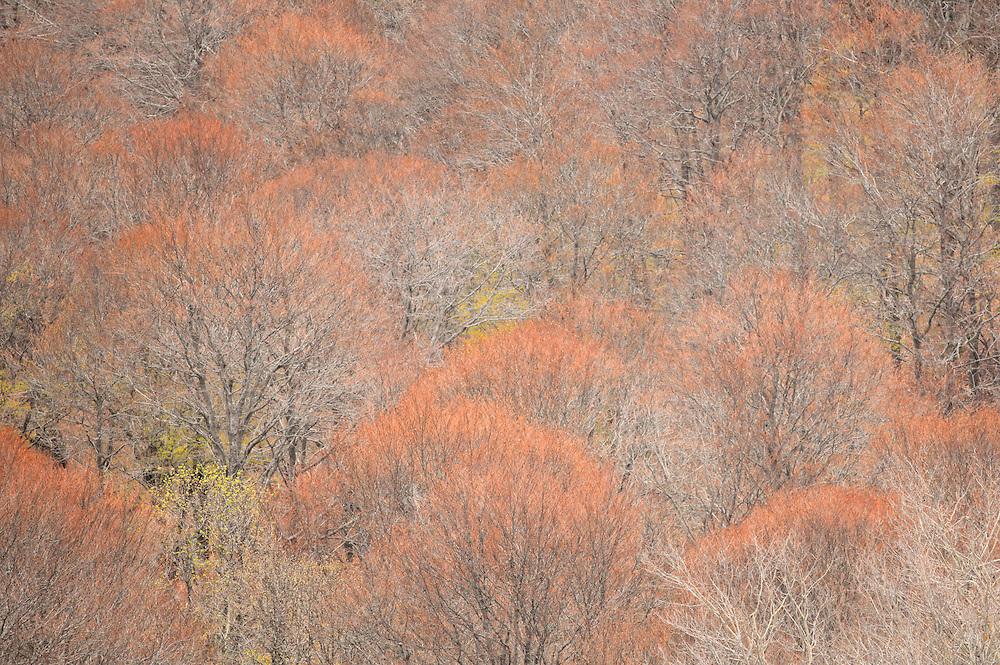 Trees with patel colors,  Col de Guéry, Forêt Domaniale de Guéry, Massif d Sancy, Auvergne, France