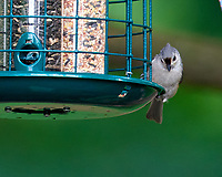 Tufted Titmouse. Image taken with a Nikon D810a camera and 600 mm f/4 VR lens.