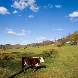 Cows on a farm in West Fairlee, Vermont.  Blood Brook Road.