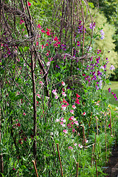 Sweet peas growing up woven birch teepees in the veg plot