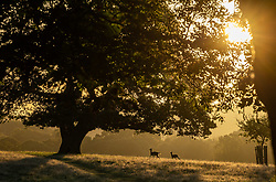 Licensed to London News Pictures. 06/10/2021. London, UK. After yesterday's torrential rains and flooding, deer run past trees at sunrise in Richmond Park south-west London this morning as weather forecasters predict a mild few days ahead with highs of 20c. Photo credit: Alex Lentati/LNP