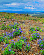 Lupines (Lupinus sp.) blossoms at Ogilvie Summit<br />Dempster Highway<br />Yukon<br />Canada