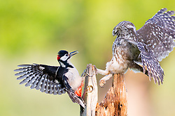 © Under license to London News Pictures. 27/06/203. Droitwich Spa, UK. A little owl and a Great Spotted Woodpecker come face to face as they clash over food while feeding their young in a nature reserve in Droitwich Spa, Worcestershire. The rare and beautiful images were captured by wildlife photographer Ian Schofield while out bird watching. Photo credit should read IAN SCHOFIELD/LNP