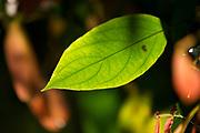 Foz do Iguacu_PR, 28 de agosto de 2012<br /> <br /> Producao de banco de imagens <br /> <br /> Folha da vegetacao na regiao das cataratas do Iguacu<br />  <br /> Foto: JOAO MARCOS ROSA / NITRO