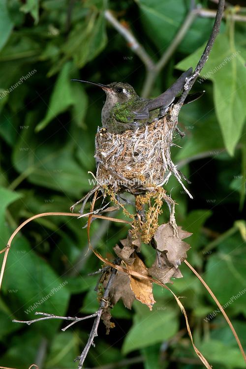 A Broad-billed Hummingbird (Cynanthus latirostris) nest, with the female and babies (Arizona)