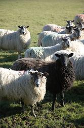 Sheep in Cumbria,
