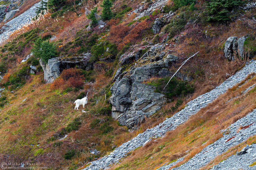 A Mountain Goat (Oreamnos americanus) climbs the southern slopes of Table Mountain at the Mount Baker Wilderness in Washington State, USA.  Photographed from the Chain Lakes Trail in early October.