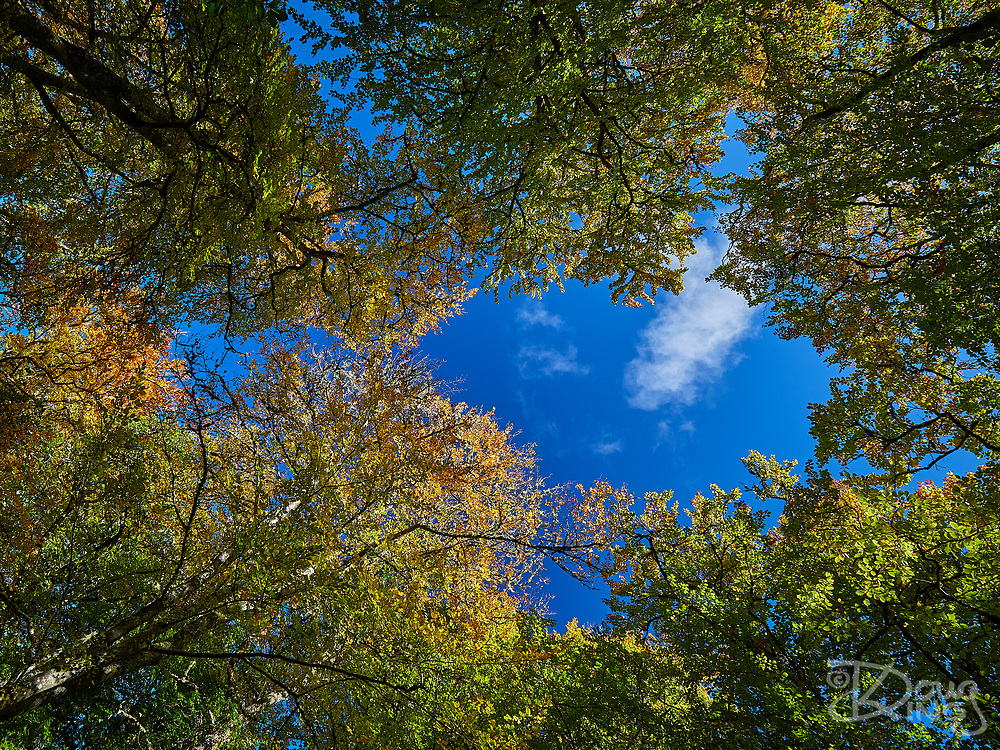 Blue sky with puffy white clouds viewed through the canopy of the Scottish woodland.<br /> Scotland, UK