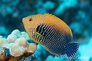 endemic Potter's angelfish, Centropyge potteri, male, endemic species, Kohanaiki,  North Kona, Hawaii ( the Big Island ), U.S.A. ( Central Pacific Ocean )