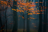 Rainy autumn day in a beech forest