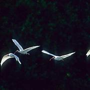 White Ibis, (Eudocimus albus) Four birds flying over rookery. Florida.