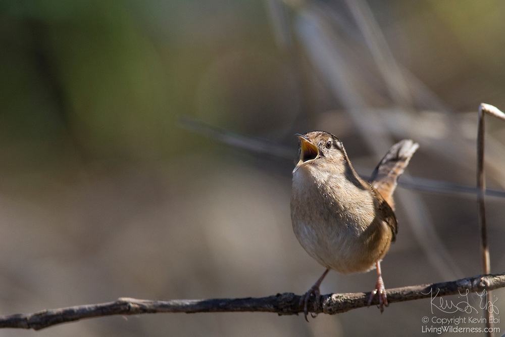 A marsh wren (Cistothorus palustris) sings from its perch in the Ridgefield National Wildlife Refuge in Washington state.
