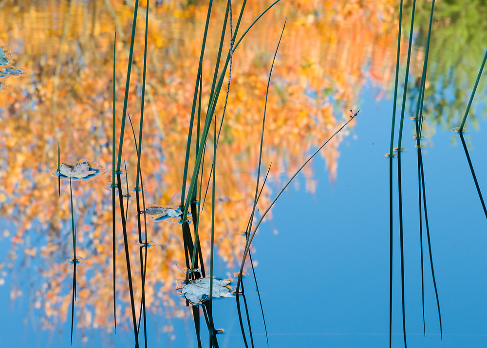 Maple leaves (Acer species) and bullrush, October, afternoon light, autumn pond, Cheshire County, New Hampshire, USA