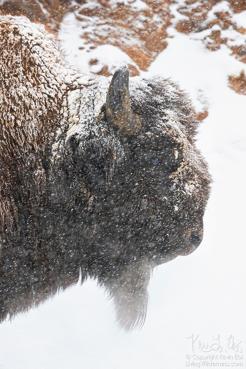 A Plains bison (Bison bison) stands in a heavy snow storm next to a canyon wall over the Gibbon River in Yellowstone National Park, Wyoming. American bison are sometimes mistakenly referred to as buffalo; they are only distantly related to true buffalo.
