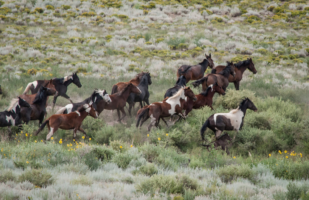 """Fine art photograph of a herd of wild horses racing across sage brush flats in Colorado.<br /> <br /> AVAILABLE AS:<br /> <br /> Size 20"""" x 16"""" (50.8cm x 40.6cm approx)*<br /> Edition of ONLY 100 at this size.<br /> US$350 + shipping<br /> <br /> Hand printed in Taos, New Mexico, USA by Taos Print and Photography Services using archival inks and fine art paper. signed and numbered by hand.<br /> <br /> Contact jim@jimodonnellphotography.com to order"""