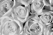 White roses<br /> Winnipeg<br /> Manitoba<br /> Canada