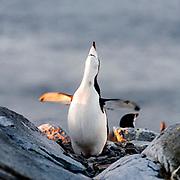 A Chinstrap penguin (Pygoscelis antarctica) displays on the top of Useful Islland, Antarctica