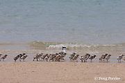 crested tern, Sterna bergii or Thalasseus bergii, with creche of chicks, Turu Cay, Torres Straits, Queensland, Australia