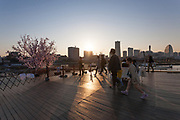 A small cherry tree with sakura blossoms blooming on Osanbashi Pier in Yokohama, Kanagawa, Japan Sunday March 25th 2018